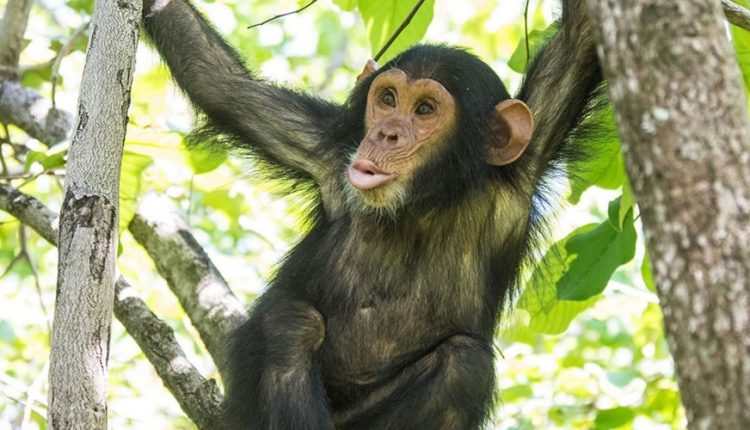Chimpanzee in Tongo Forest