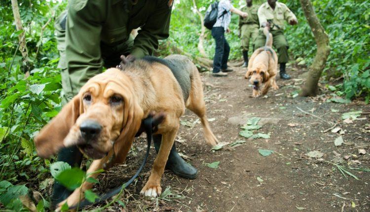 Congo Hounds in Virunga