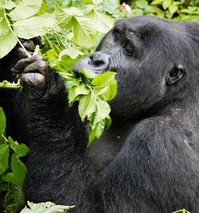 Mountain Gorilla feeding in Virunga