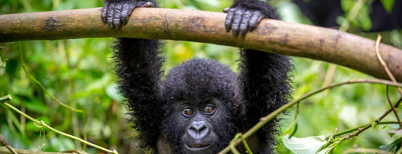 Mountain-Gorilla-swinging-in-Virunga-National-Park